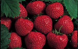 Albion Strawberries
